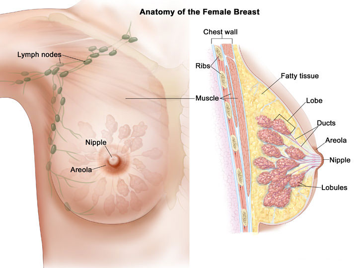 What breasts are made of, and how breast cancer starts